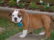 ADORABLE BULLDOG FOR ADOPTION