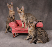 exotic serval,  savannah,  caracal,  and bengal kittens available